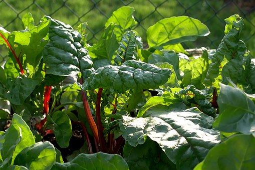 spring-chard-vegetable